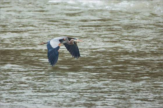 Elk River Heron - 2014 © Christopher Martin