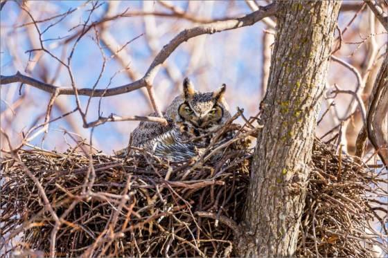 Great Horned Owl - 2014 © Christopher Martin